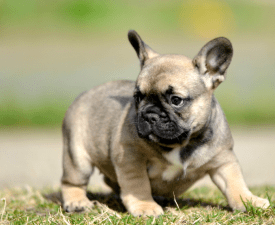 Héra - French Bulldog Puppy for sale
