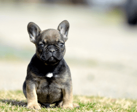Herold - French Bulldog Puppy for sale