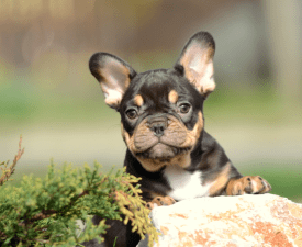 Frappe - French Bulldog Puppy for sale