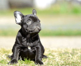 Főnix - French Bulldog Puppy for sale