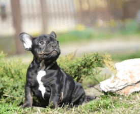 Frank - French Bulldog Puppy for sale