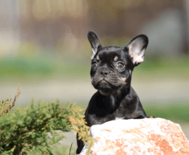Felicity - French Bulldog Puppy for sale