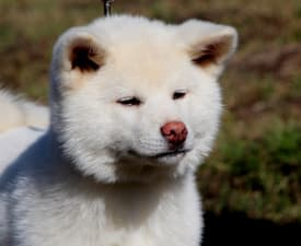 Wendi - Akita Inu Puppy for sale