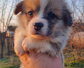 Armani - Welsh Corgi Pembroke Puppy for sale