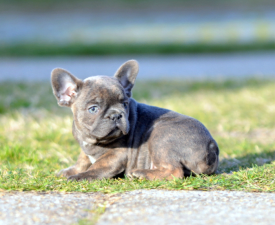 Gary - French Bulldog Puppy for sale
