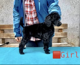 Girl - Poodle Standard Puppy for sale