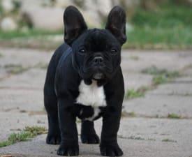 Aurora - French Bulldog Puppy for sale