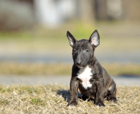 Charles - Miniature Bullterrier Puppy for sale