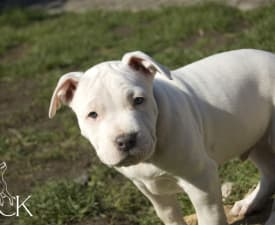 Carters King Absolut Elyx - American Staffordshire Terrier Щенок на продажу