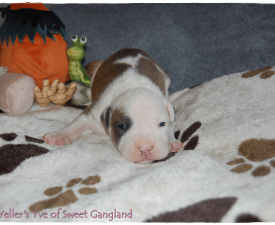Yellers Yve Of Sweet Gangland - American Staffordshire Terrier Puppy for sale