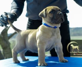 Arlo - Canary dog Puppy for sale