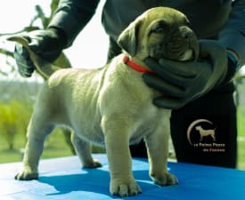Alba - Canary dog Puppy for sale