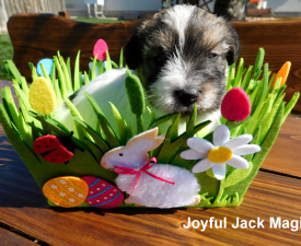 Joyful Jack Magic - Jack Russell Terrier Puppy for sale