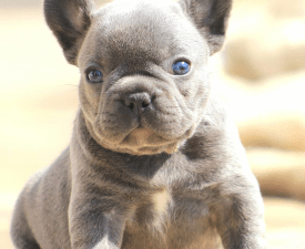 Thuglife Bucky - French Bulldog Puppy for sale