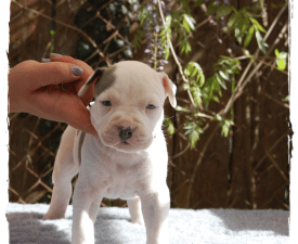 Zygo Of Sweet Gangland - American Staffordshire Terrier Puppy for sale