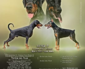 Petrocelli - Dobermann Puppy for sale