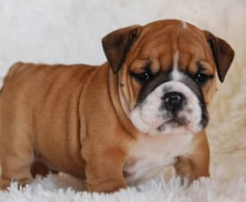Rengőhegyi-ormán Hellas - Bulldog Puppy for sale