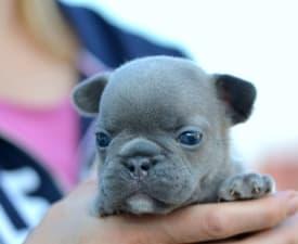 Ian - French Bulldog Puppy for sale