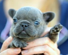 Iggy - French Bulldog Puppy for sale