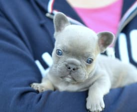 Iron - French Bulldog Puppy for sale