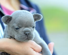 Ivan - French Bulldog Puppy for sale