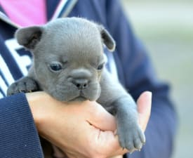 Ingrid - French Bulldog Puppy for sale
