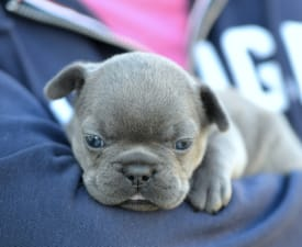 Isabella - French Bulldog Puppy for sale