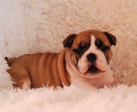 Rengőhegyi-ormán Hayme  - Bulldog Puppy for sale