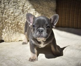 Benny - French Bulldog Puppy for sale