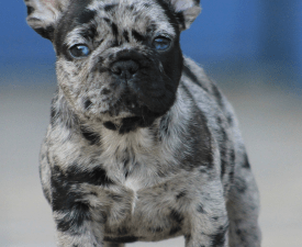 Thuglife Alvin  - French Bulldog Puppy for sale