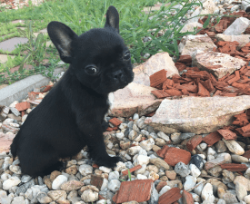 Bella - French Bulldog Puppy for sale