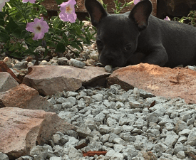 Beni - French Bulldog Puppy for sale