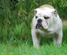 Franco - Bulldog Puppy for sale