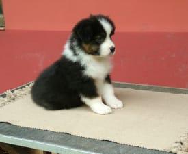 Luna By Baby Jane - Australian Shepherd Puppy for sale
