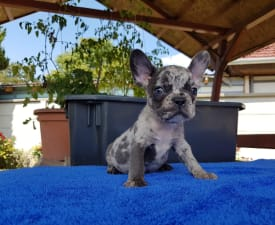 Apró - French Bulldog Puppy for sale