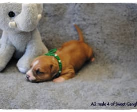 Aiden Of Sweet Gangland - American Staffordshire Terrier Puppy for sale