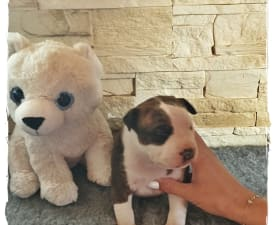 Best Brindle Boy Of Sweet Gangland - American Staffordshire Terrier Puppy for sale