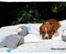 Alvin Of Sweet Gangland - American Staffordshire Terrier Puppy for sale
