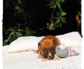 Aslan Of Sweet Gangland - American Staffordshire Terrier Puppy for sale