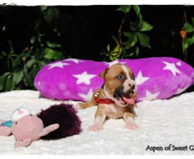 Aspen Of Sweet Gangland - American Staffordshire Terrier Puppy for sale