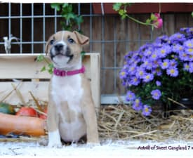 Astrid Of Sweet Gangland - American Staffordshire Terrier Puppy for sale