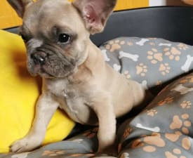 Dexter  - French Bulldog Puppy for sale