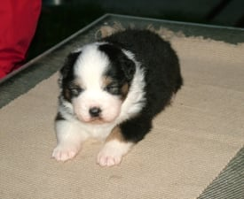 Noname By Baby Jane - Australian Shepherd Puppy for sale
