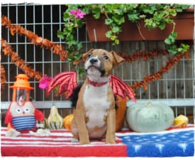 Alice Of Sweet Gangland - American Staffordshire Terrier Puppy for sale