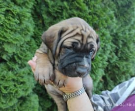 Akiko - Tosa Puppy for sale