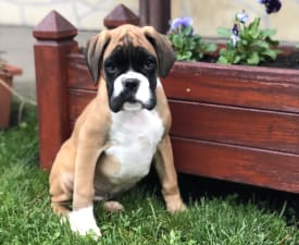 Sofie - German Boxer Puppy for sale