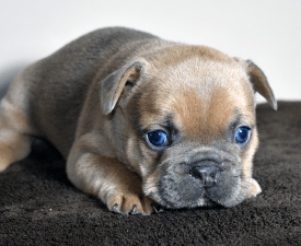 James - French Bulldog Puppy for sale