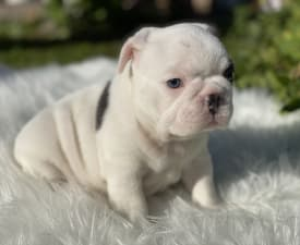 Sachi - French Bulldog Puppy for sale