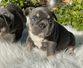 Sophie - French Bulldog Puppy for sale