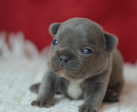 Jake - French Bulldog Puppy for sale
